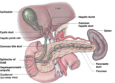 functions of a gall bladder (gallbladder cleanse) function… | flickr, Cephalic Vein
