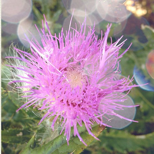 Thistle | by J5uliana