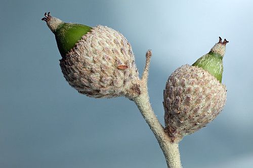 Bush oak acorns | by Lord V