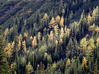 Larch trees aglow at Highwood Pass | by benlarhome