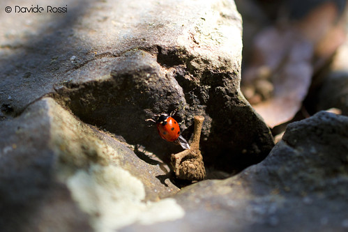 Animals 2012 - Ladybug and her shadow | by Davide Rossi PhotoArtDesigne