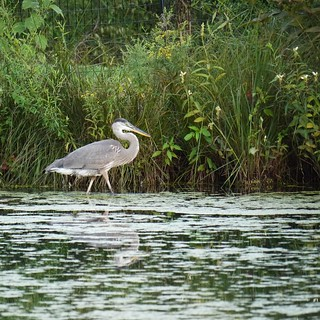 Great Blue Heron, Turtle Pond | by Ed Gaillard