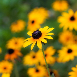 Black-eyed Susans [225/366] | by timsackton