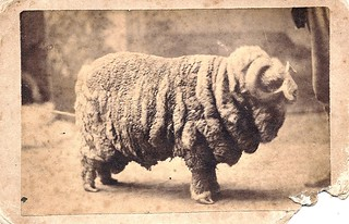 Undated cdv of a very woolly [miniature?] ram, by photographer E. E. Shaver, of Chelsea, Michigan. | by Wystan
