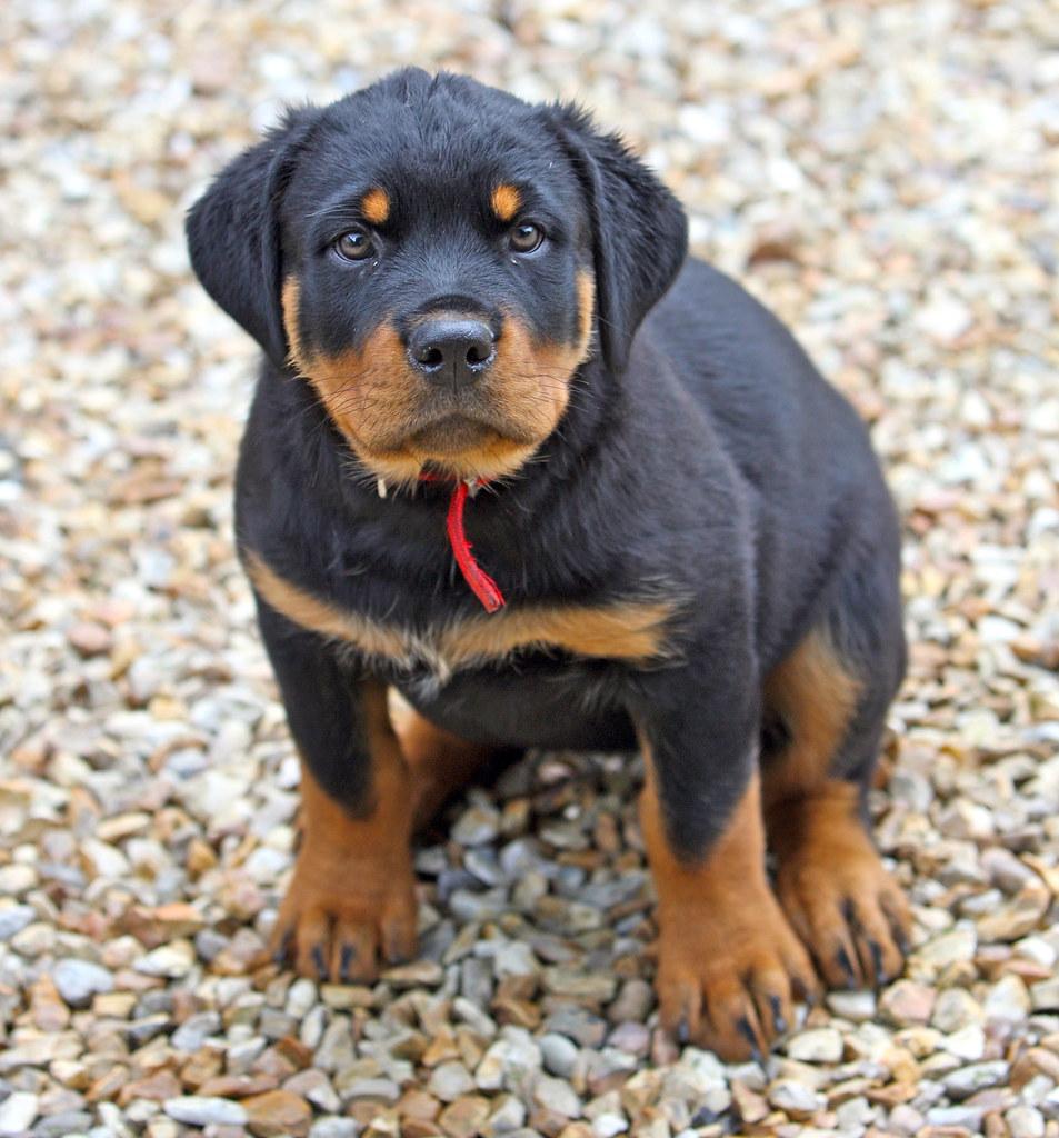 Rottweiler Weight Chart: Rottweiler puppy | Rottweiler puppy | Terry George | Flickr,Chart