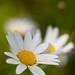 Daisy / fagurfífill