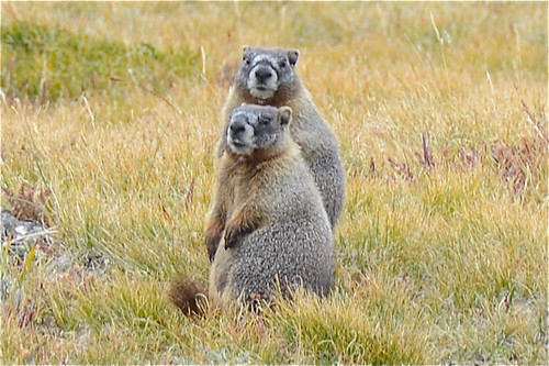 Large Ground Squirrels, aka Marmots | by PilotGirl