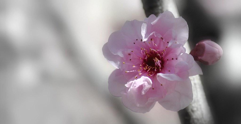 Momo Peach Blossom