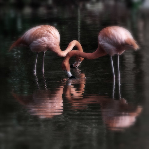 American Flamingo #2 | by Peter Femto