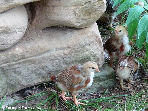 Lokey and her ten chicks (7) | by Farmgirl Susan