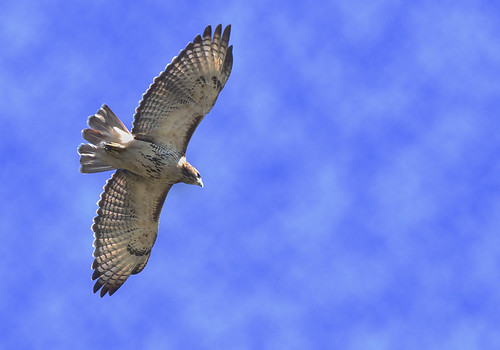 _MG_2879 Red Tail Hawk | by terrence.peck