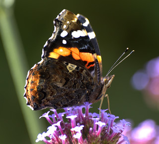 Red Admiral on Verbena | by pike head
