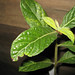 Hairy Psychotria (Psychotria loniceroides)