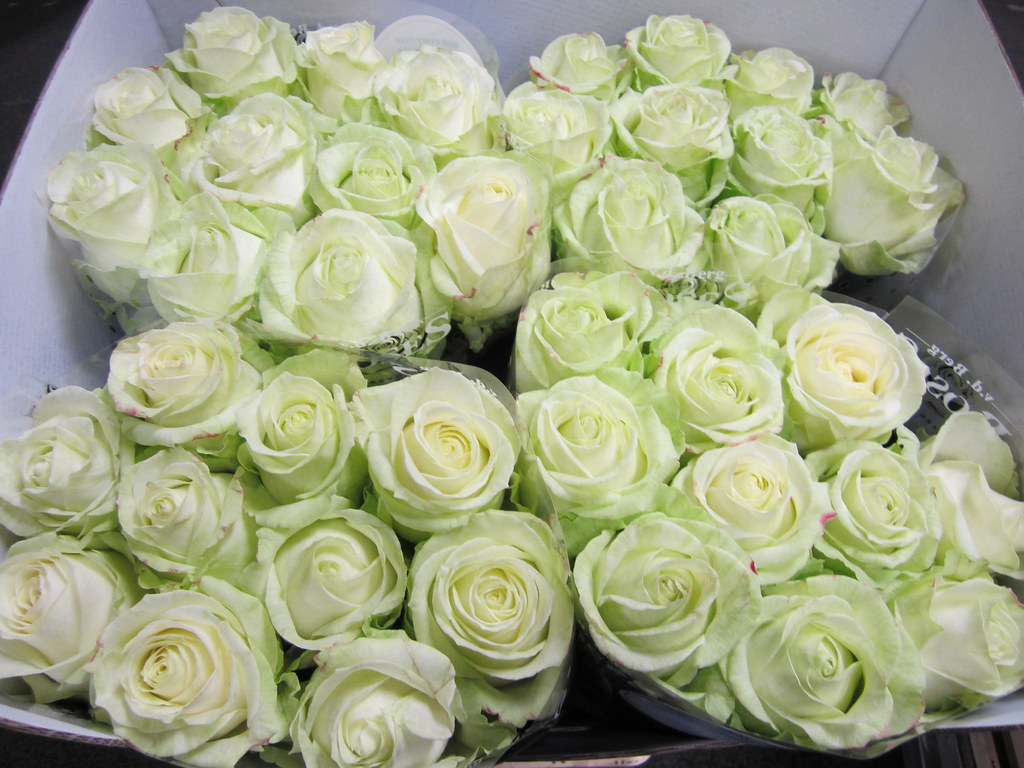 Rose Avalanche E Ortensie : Rose avalanche emerald marco geerlof flickr