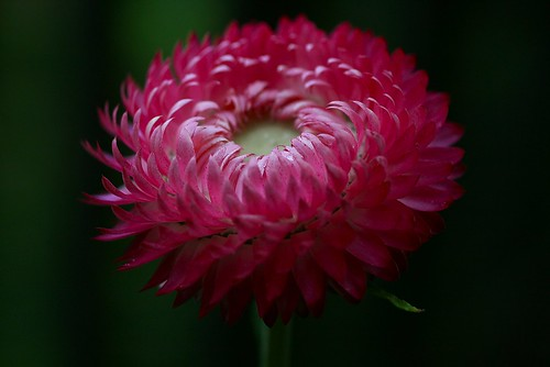 Strawflower | by Liisamaria