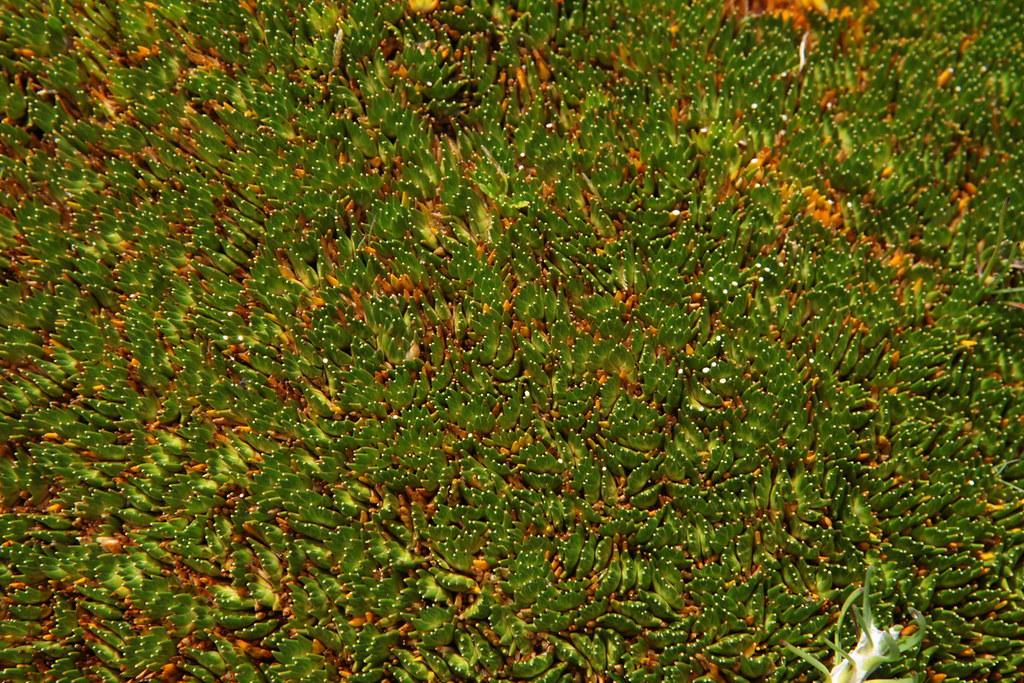 [Juncaceae] Distichia muscoides | Cette photo a été prise ...