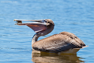 Brown Pelican | by Katherine Shah