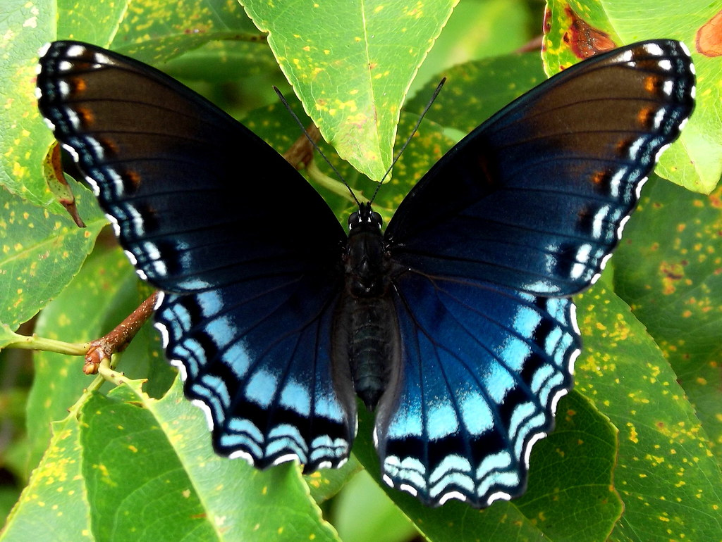 Black and Blue Butterfly (Limenitis arthemis) | Chuck Wilkins | Flickr