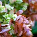 Hydrangea quereifolla`SnowFlake'