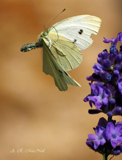 White Butterfly, Parched Earth - Predator Ridge, British Columbia (Explored) | by Barra1man