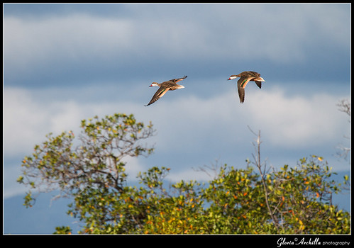 White cheeked Pintail_Pato Quijada Colorada_Anas bahamensis | by Gloria Archilla