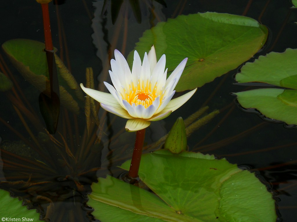 single lily pad flower Kristen Shaw