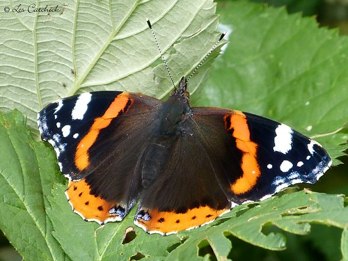 Red admiral | by LPJC