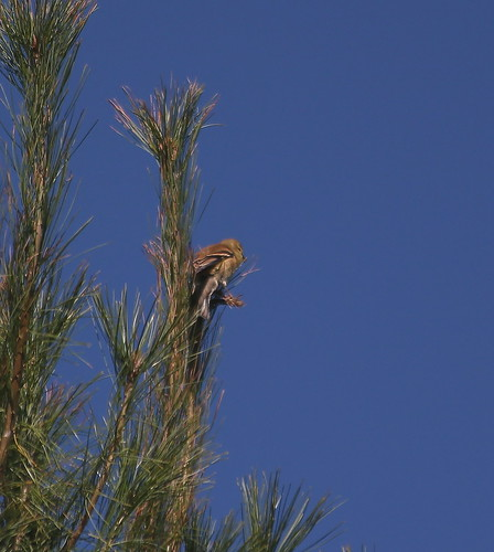 bird in pine tree,castle creek conservancy,waunakee wi,09182 | by waunakee railfan