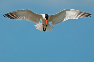 Caspian Tern - Surveillance | by The White Collar Twitcher