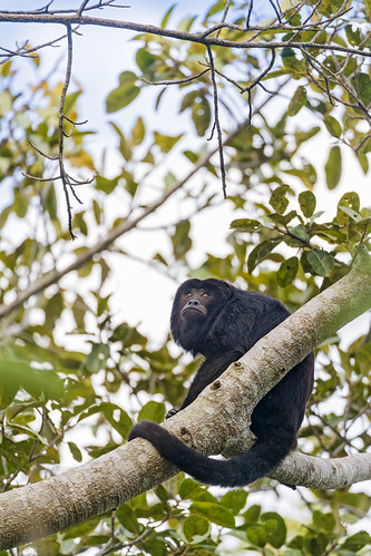 Male howler monkey in the trees | by Tambako the Jaguar