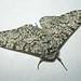 Peppered Moth, Bawdeswell (Norfolk), 6-Jul-12