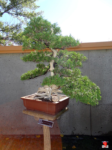Bonsaï & Penjing - White cedar - Thuja occidentalis - Cupressaceae - Created by John Naka of California & donated by Soc de Bonsai et de penjing de Montreal - 110 years old SC20120901 047 | by fotoproze