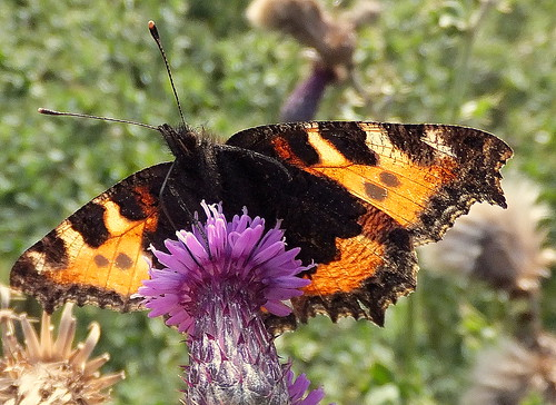 Fuji FinePix F600EXR.Compact Camera.Super Macro Study Of A Small Tortoiseshell Butterfly In Wind And Sunshine.September 22nd 2012. | by Blue Melanistic.Twelve Million Views.