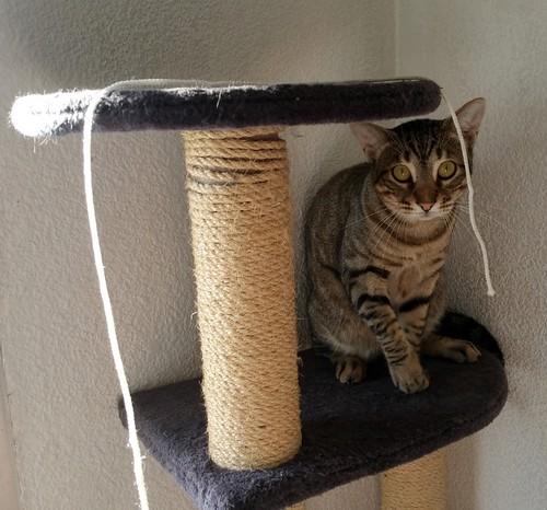 Cotton y Cobby, gatos pardo y blanquipardo inseparables, nacidos en Febrero´15, necesitan adopción Conjunta. Valencia. 29488486281_186239910f