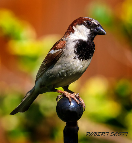 Portrait of A Male House Sparrow | by Robert Scott Photographyy