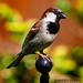 Portrait of A Male House Sparrow