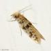 Borboleta Noturna // Moth (Eumasia parietariella)
