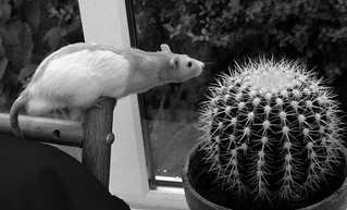 gizmo_cactus | by Richard burtle