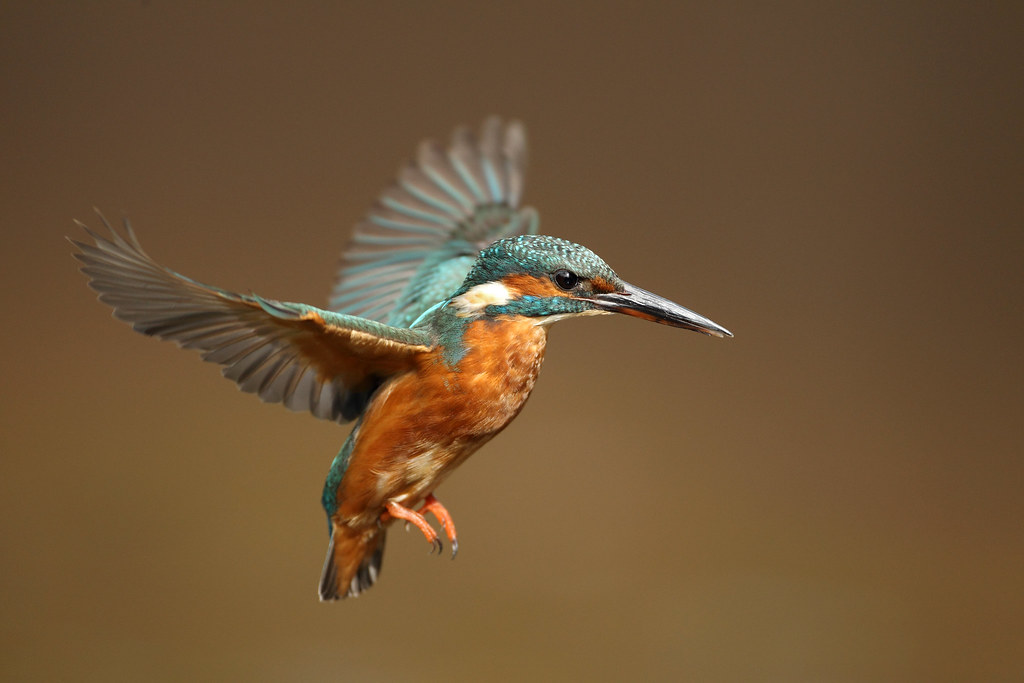 Kingfisher Flying Female Kingfish...