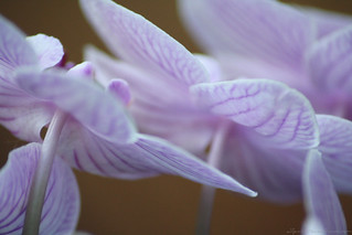 Dreamy orchid | by nishe14