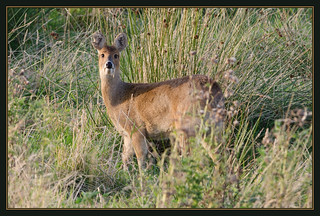 Chinese Water Deer | by Full Moon Images
