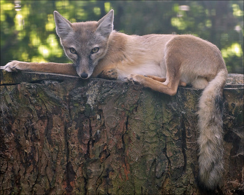 Corsac Fox | by Foto Martien