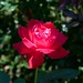 Rosa 'Double Knock Out' MA 2005-068-A 9-12-12 3667 lo-res