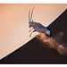 WWF-Canon Pic of the Week - Leaping gemsbok