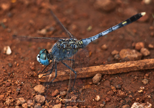 Blues (Diplacodes trivialis; Ground Skimmer Male) | by Rakhi Rawat20 (Very busy)