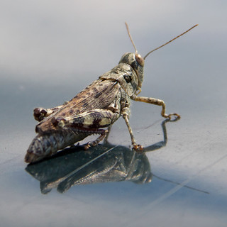 on the roof of my car- secret US Military grasshopper? | by Mycophagia