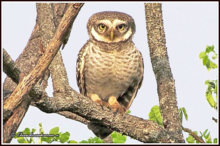 2472 - spotted owlet , a portrait | by chandrasekaran a 40 lakhs views Thanks to all