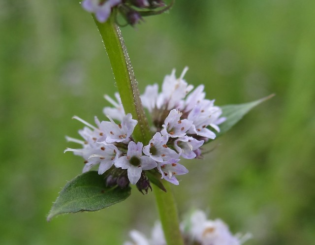 Spearmint Flowers   Flickr - Photo Sharing!