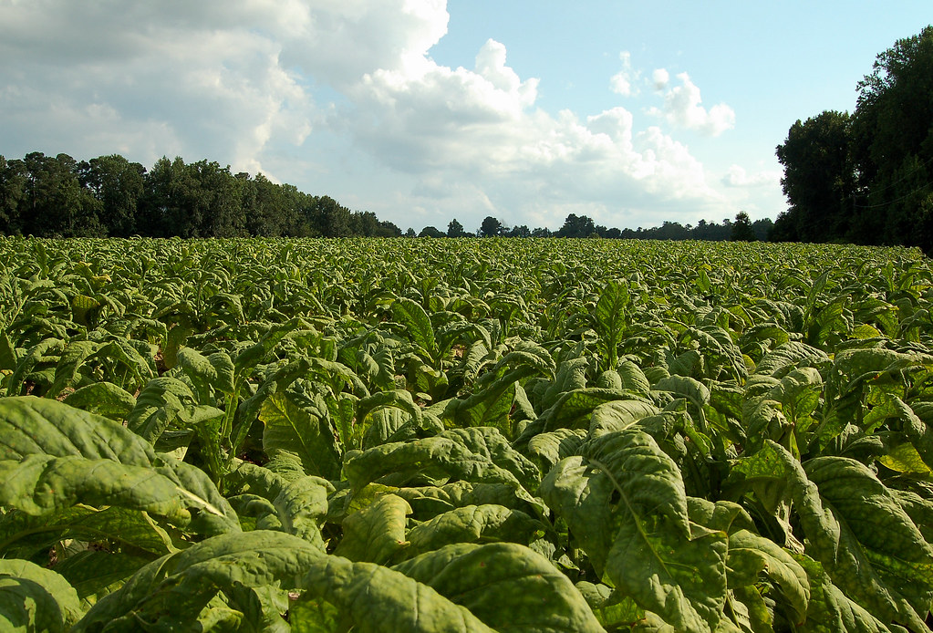 Tobacco Crop | Still a big US cash crop. | Mangrove Mike ...