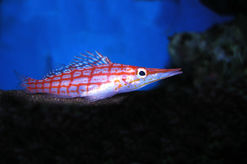 LONG NOSE HAWKFISH DSCN8904 | by 37KNUCKLEHEAD